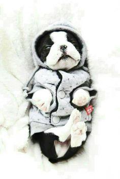 Boston terrier pup in his winter jersey