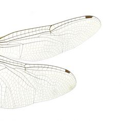 dragonfly wings by swee-cheng