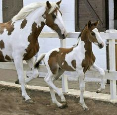 Lovely Paint mare showing off her high-stepping foal.