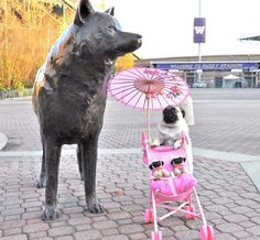 the pug who pushed her toy baby pugs around in a stroller. With a parasol.