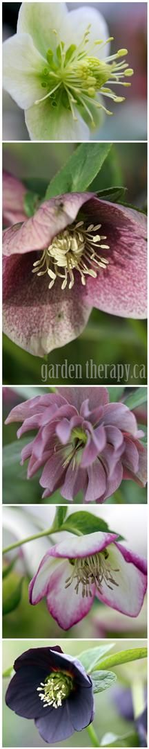 You can never have too many beautiful Hellebores.  To propagate, divide the clumps after flowering, in early spring or late summer.  Hellebores can be grown from seed and will self-seed but do not come true to type.  With so much variety out there it's quite fun to grow your own seedlings be surprised at what will pop up. #garden #spring #flowers #hellebore