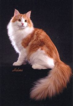 Norwegian Forest Cat in red tabby and white - stunning!