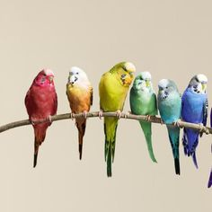 The 5 Most Popular Species of Pet Birds: Parakeets/Budgies