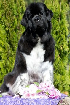 Shellbea is a very special dog, she is my personal service dog, she is a therapy dog and cancer support animal. She loves to carry items, and if she wants attention she will bring me anything she can reach.. And she's newfoundland so there isn't much put out of reach!