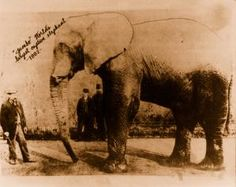 vintage photo of world's largest elephant