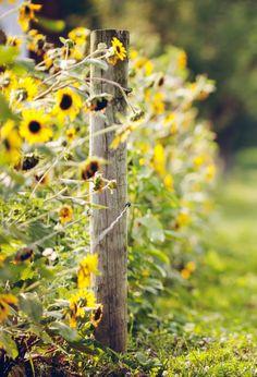 Sunflower fence