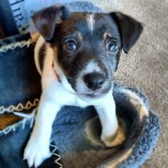 Jack Russell Terrier puppy, Apollo