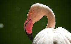 Flamingo - photo by Claudio Cavalensi