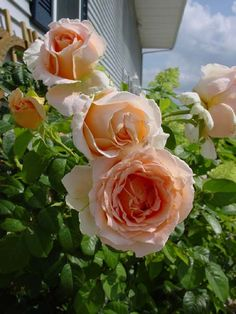 Best Rose.  Polka. A climber with glossy leaves.  Long lasting blooms too.