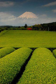 Mt. Fuji and green tea farm,
