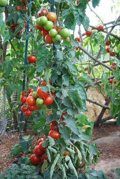 vine, grow tomato