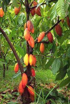 Cocoa Tree (kakaw), I remember growing up in Bohol, Philippines, harvesting this to make a Tableya. plant, chocolates, natural foods, chocolate recipes, cacao tree, tropical fruits, raw food recipes, fruit trees, chocolate lovers