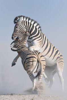 Zebra Battle| Neal Cooper
