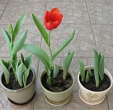 How to Grow Tulips in Containers...Tulips year-round :) What a Happy Thought!