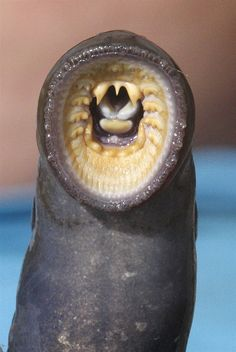 A lamprey caught at Willamette Falls.  As long as Indians have lived in the Northwest, they have looked to the lamprey, a jawless, eel-like fish, for food. Rick Bowmer / AP