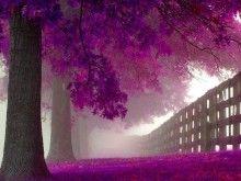 """Purple trees in the Mist"""
