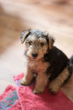 Airedale Puppy!