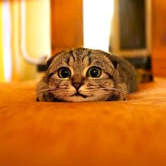 A Scottish Fold kitten prepares to pounce in the most adorable way possible. Those eyes, those big beautiful eyes