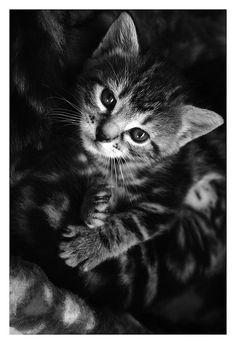 kitten - black & white