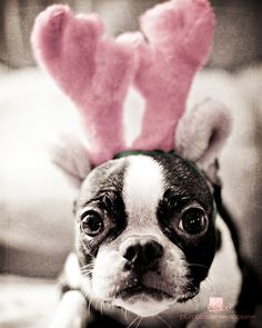 """What do I need these for?"" #dogs #pets #BostonTerriers #puppies Facebook.com/sodoggonefunny"