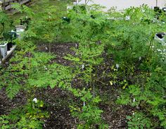 How to Grow a Moringa Tree -- via wikiHow.com