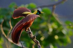 Red Bird of Paradise (Paradisea rubra) at Batenta Island, Indonesia; photo by Tim Laman for National Geographic