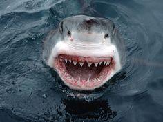 There are around a dozen shark attacks in Australia per year. That's a dozen too many. dolphin, south australia, white shark, happy animals, the ocean, sea, smile, shark week, sharks
