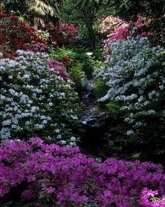 Bodnant Gardens, Conwy, Wales UK.Cool shaded stream bordered by, White, Pink, and Magenta Kurume Azaleas