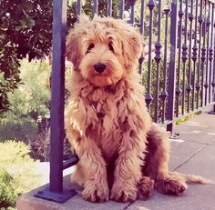 Goldendoodle , what my boyfriend and I want someday! So adorable