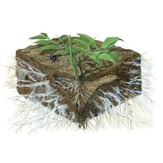 Mycorrhizal Fungi: The Amazing Underground Secret to a Better Garden - Organic Gardening - MOTHER EARTH NEWS