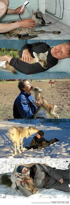 Milla, the man-raised reindeer…