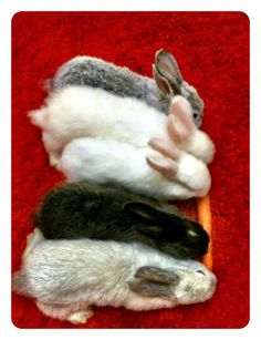 5 baby bunnies eating 1 carrot