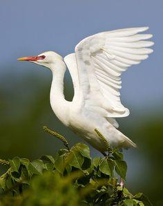 cattle egret - breeding plumage by Darlene Boucher