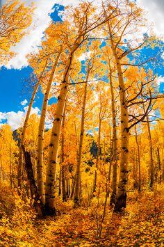 An aspen grove in autumn, 13,114 foot (3997 meter) Imogene Pass, San Juan Mountains, southwest Colorado USA  -- photo:  Blane Harrington
