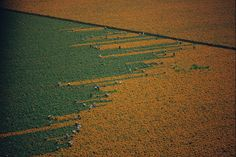 A field turns from orange to green as harvesters pick marigold flowers in Los Mochis, Mexico, 1967. Photograph By W.E. Garrett, National Geographic. via http://vruba.tumblr.com/image/58342579013