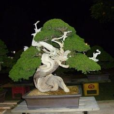 i adore bonsai trees. all that patience and time to clip it to perfection.