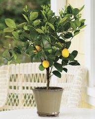 plant, lemons, fruit tree, lemon tree, meyer lemon, trees, citrus tree, garden, year warranti
