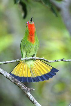 Nyctyornis amictus - żołna wielka - Red-bearded Bee-eater