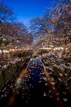 Stars of Sakura #japan #tokyo