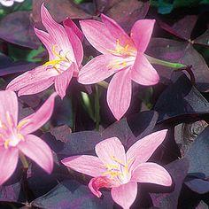 flower garden, rain lili, garden plant, fairies, fairi lili, fine garden, plants, bulbs, habranthus robustus