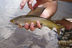 FlyFishing Grayling in Colorado trout fish, trout ate