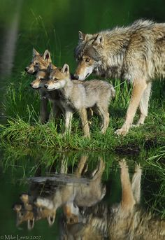 Wolf & three pups - so watchful and aware. #furbabies