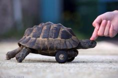This tortoise was given wheels after his front legs were gnawed off by rats while hibernating underground. pic.twitter.com/3vONZme71H