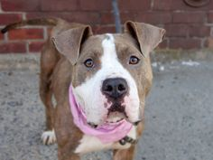 TO BE DESTROYED - 08/29/14 Brooklyn Center -P  My name is LAURA. My Animal ID # is A1011022. I am a female br brindle and white pit bull mix. The shelter thinks I am about 4 YEARS old.  I came in the shelter as a STRAY on 08/18/2014 from NY 11236, owner surrender reason stated was STRAY. https://www.facebook.com/Urgentdeathrowdogs/photos/a.611290788883804.1073741851.152876678058553/858267347519479/?type=3&theater