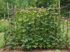 Simple trellis for growing green beans