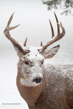 winter snow, reindeer, animals, nature, antlers, powder, beauti, beauty, rustic christmas