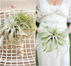 Air Plants the New Succulents