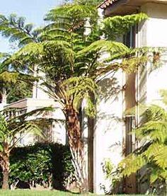 garden plant, australian native trees, tree fern, nativ plant