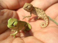 Omgosh baby chameleons