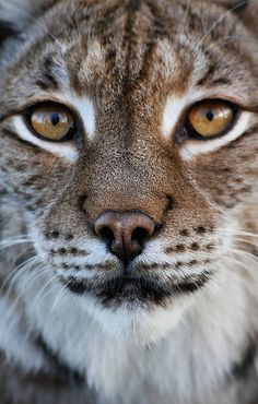 Wild cats face